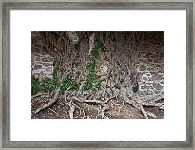 Castle Wall With Creeping Tree Roots Framed Print by Artur Bogacki