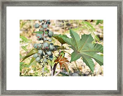 Framed Print featuring the photograph Castor Oil Plant by Ray Shrewsberry