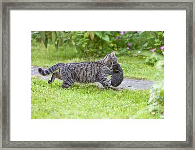 Cat Carrying Kitten Framed Print by Duncan Usher
