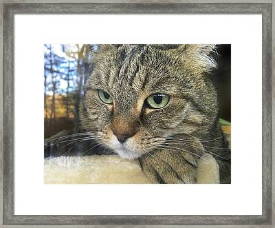 Cat Looking Outdoors Framed Print by Susan Leggett
