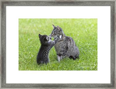 Cat Playing With Kitten Framed Print by Duncan Usher