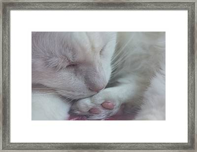 Cat - Silky - Cat Napping Framed Print by Black Brook Photography