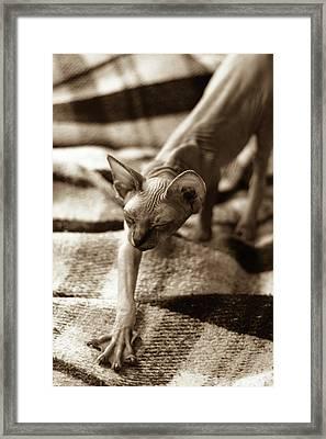 Cat Stretch Framed Print by Bizarre Lovecats