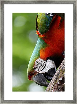 Catalina Macaw II Framed Print by Nancy  Coelho
