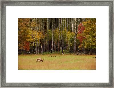 Cataloochee Valley Elk Framed Print