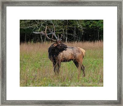 Framed Print featuring the digital art Cataloochee Valley Elk  by Chris Flees