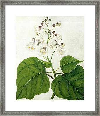 Catalpa Speciosa Framed Print by Matilda Conyers