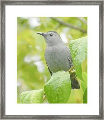 Catbird Framed Print