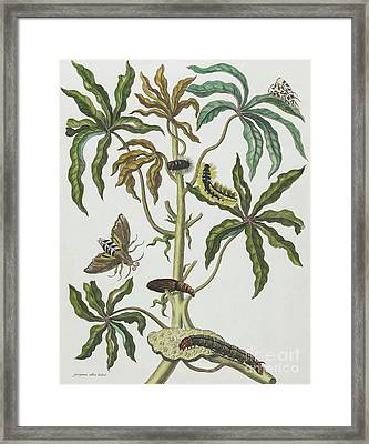 Caterpillars And Insects With Foliage Framed Print by Maria Sibylla Graff Merian