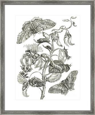 Caterpillars, Butterflies, And Flower Framed Print by Maria Sibylla Graff Merian