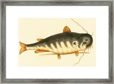 Catfish Framed Print by Mark Catesby