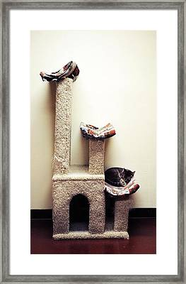 Catnapping   Human Society Wisconsin Framed Print by Laura Pineda