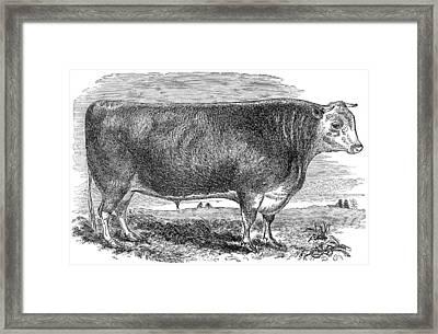 Cattle, C1880 Framed Print by Granger