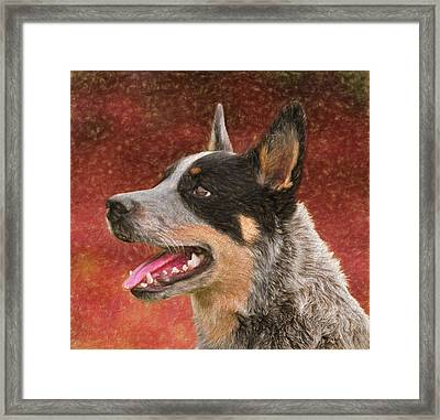 Cattle Dog On Red Framed Print by Dan Sproul