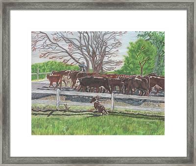 Cattle Drive In Lake City Framed Print by Gail Seufferlein