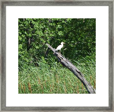 Cattle Egret 3 Framed Print by Ruth Housley