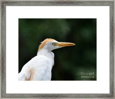Cattle Egret Close-up Framed Print by Al Powell Photography USA