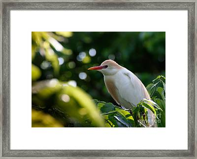 Cattle Egret In Oklahoma Framed Print