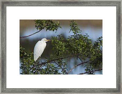 Cattle Egret In The Morning Light Framed Print