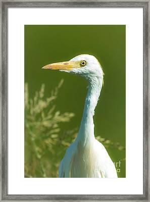 Cattle Egret  Framed Print by Robert Frederick