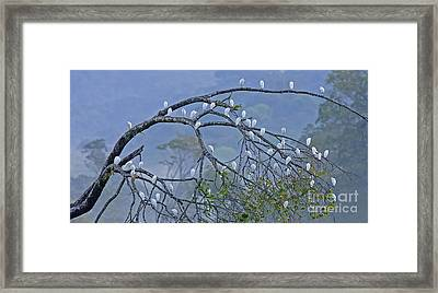 Cattle Egrets Framed Print