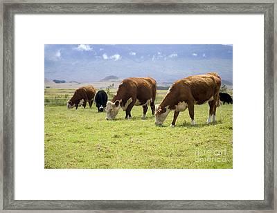 Cattle Grazing Framed Print