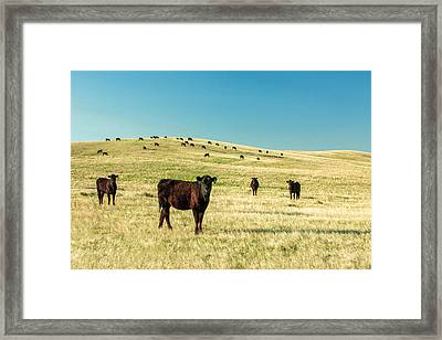 Cattle Grazing On The Plains Framed Print by Todd Klassy