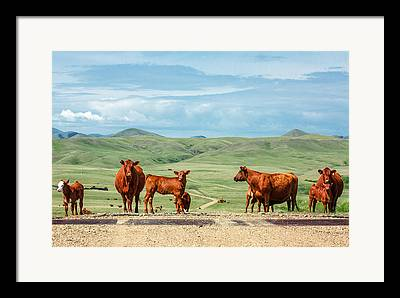 Angus Steer Photographs Framed Prints
