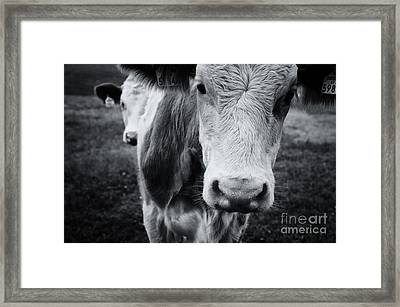 Cattle On A Field In Autumn Framed Print by Sabine Jacobs