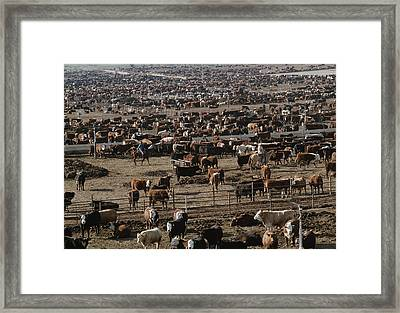 Cattle Wait To Be Moved By Cowboys Framed Print