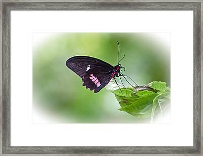 Cattleheart Butterfly Framed Print