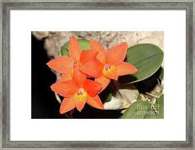 Cattleya Cernua Orchid Framed Print by Judy Whitton