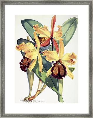 Cattleya Dowiana Framed Print