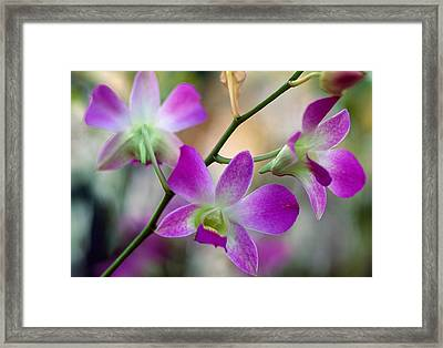 Cattleya Orchid Flower Blossoms, Close Framed Print