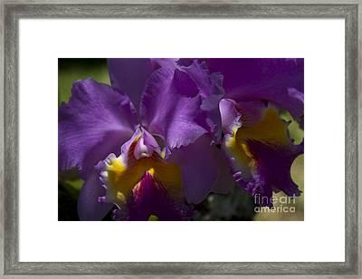 Cattleya Orchid Garden Of Eden Maui Framed Print by Sharon Mau