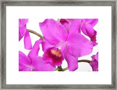 Cattleya Orchid Framed Print by Lynn Berreitter