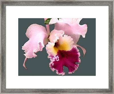 Cattleya Orchid Framed Print by Rosalie Scanlon