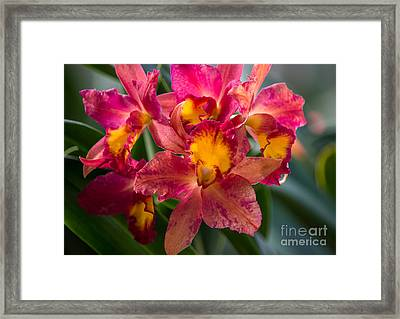 Cattleya Orchids Framed Print by Fiona Craig