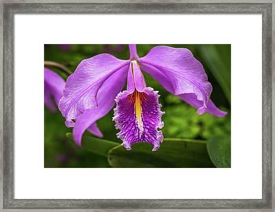 Cattleya Purpurata Framed Print by Calazone's Flics