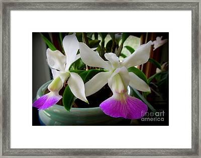 Cattleya Walkeriana Semi-alba 'carmela' Orchid Framed Print by Renee Trenholm