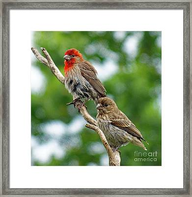 Caught In A Trance - House Finches Framed Print