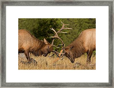 Caught In Battle Framed Print by Sandy Sisti