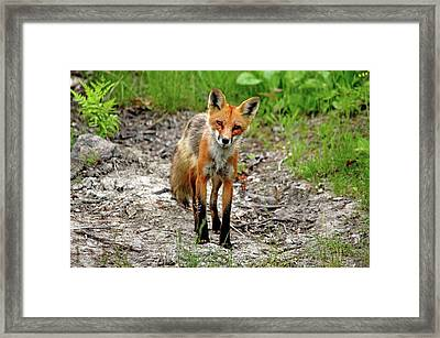 Cautious But Curious Red Fox Portrait Framed Print by Debbie Oppermann