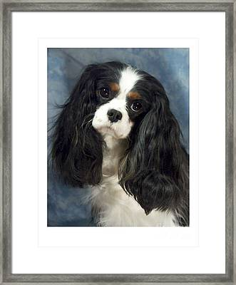 Cavalier King Charles Spaniel 06  Framed Print by Larry Matthews