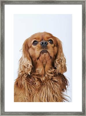 Cavalier King Charles Spaniel Looking Up, Studio Shot Framed Print by Martin Harvey