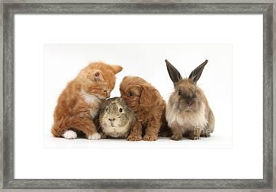 Cavapoo Pup, Rabbit, Guinea Pig Framed Print by Mark Taylor