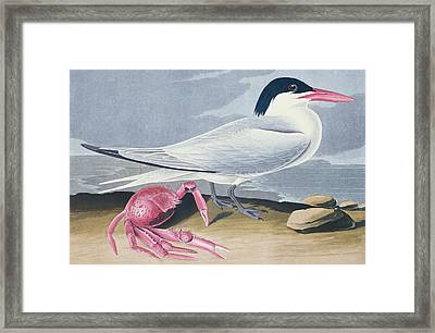 Cayenne Tern Framed Print by John James Audubon