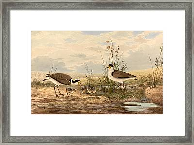 Cayley Masked Lapwing. Vanellus Miles Framed Print