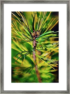 Cedar Branch Spring Framed Print by Sergey Nosov