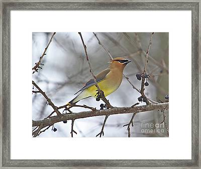 Cedar Wax Wing-2 Framed Print